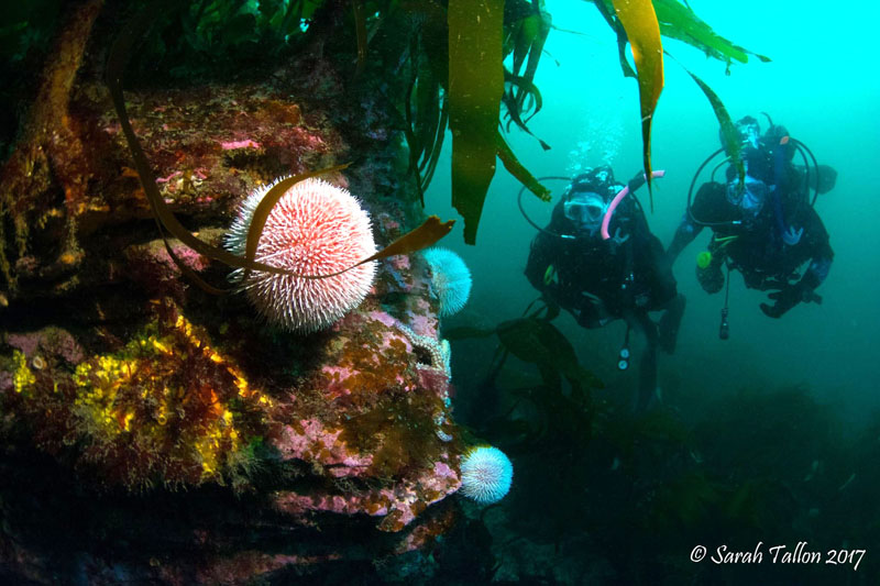 Sea urchins on reef with two divers