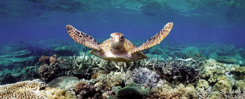 Turtle swims over shallow coral reef in Bunaken