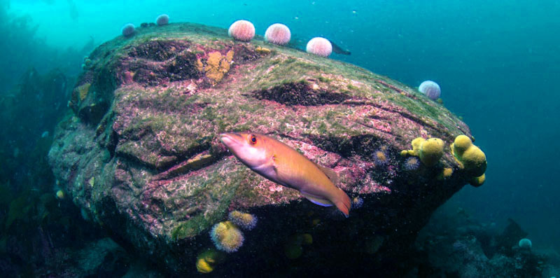 Large boulder with common sea urchins and female cuckoo wrasse